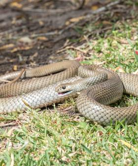 Four Week Old Baby Bitten Multiple Times By Snake In Queensland's South
