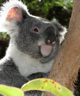 A Third Of NSW's Koala Population May Have Been Wiped Out Due To Devastating Bushfires