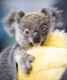 US Inmates Sewing For Orphaned Kangaroos And Koalas
