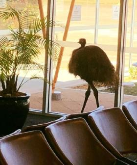 Only In Australia: An Emu Broke Into Whyalla Airport And The Pics Need To Be Seen
