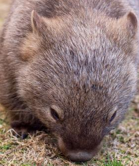200 Yorke Peninsula Wombats Saved From Planned Cull