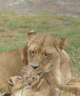 In Cute News: The Lion Cubs At Monarto Are Starting To Take Some Big, Wobbly Steps!