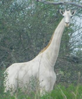 Last Remaining Female White Giraffe And Her Calf Shot Dead By Poachers