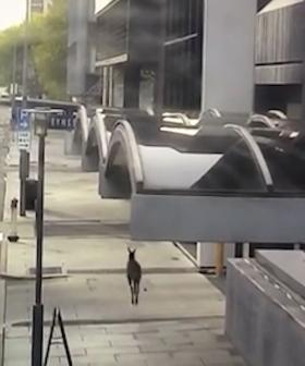 WATCH A Lost Roo Hopping Through The City On A Quiet Sunday Arvo