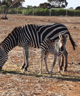 Monarto's New Baby Zebra Is The Cutest Bundle Of Stripy Joy!