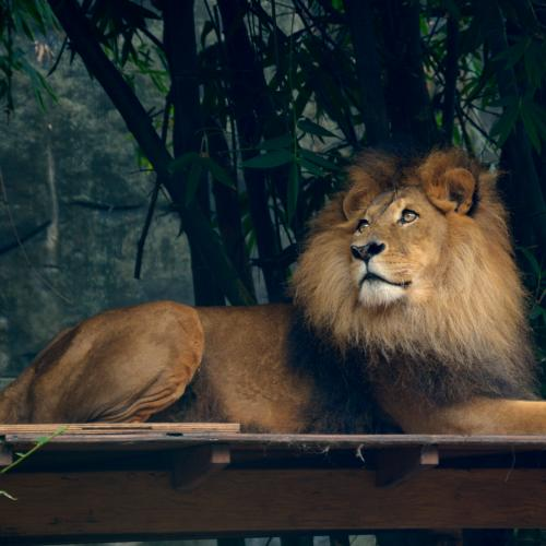 Zookeeper Attacked By Lion At Australian Zoo