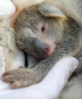 Meet Ash, The First Baby Koala Born Following The Devastating Australian Bushfires