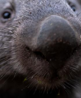 Bones Of Wombat The Size Of A Black Bear Discovered
