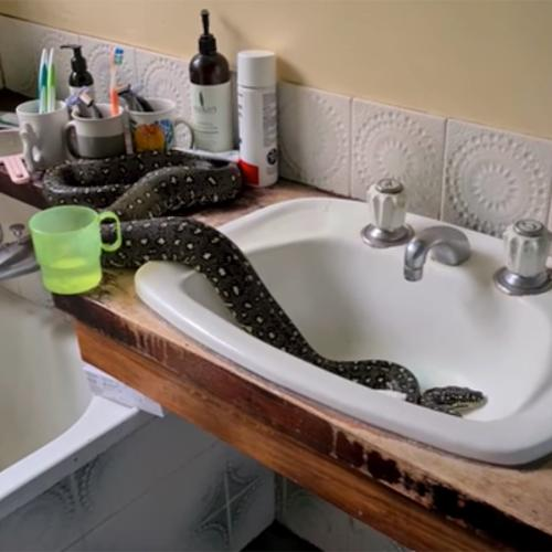 Family Finds Massive Diamond Python In Their Bathroom Sink Because, Ya Know, Straya