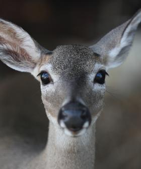 Deer On The Loose Around Sydney's CBD