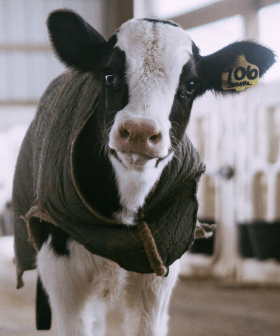 In Some Wacky 2020 News, A Cow Managed To Get Stuck In A Trampoline In Victoria