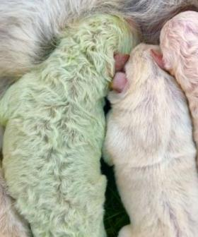 Adorable Puppy Born With Rare Green Fur Is Appropriately Named 'Pistachio'