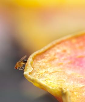 Adelaide's Fruit Fly Restrictions Causes Decline In Fruit Sales