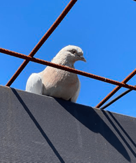 In Other News, A Racing Pigeon Has Travelled 15,000km From America To Melbourne
