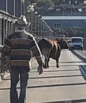 Bull Houdini's Its Way From A Trailer Causing Havoc On Murray Bridge